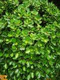 Σύκο γκι, γκι λαστιχένιο Plant†‹tree†‹ στοκ εικόνες