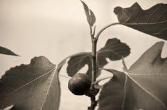 Σύκο στον κλάδο ενός δέντρου σύκων Στοκ εικόνες με δικαίωμα ελεύθερης χρήσης