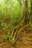 Σύκο Strangler, Κόστα Ρίκα Στοκ Φωτογραφία