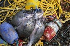 Σύλληψη της ημέρας με τα δίχτυα του ψαρέματος Στοκ Εικόνες
