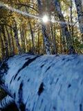 Σύνδεση σημύδων το άλσος στοκ φωτογραφία με δικαίωμα ελεύθερης χρήσης