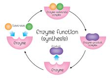 Σύνθεση ενζυμικής λειτουργίας διανυσματική απεικόνιση