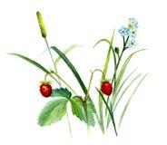 Σύνθεση θερινών εγκαταστάσεων, με τη χλόη, άγριες φράουλες και forget-me-nots Σκίτσο Watercolor, που απομονώνεται Στοκ Φωτογραφίες