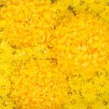 Σύνθεση λουλουδιών Κίτρινο backgrou λουλουδιών μαργαριτών χρυσάνθεμων Στοκ φωτογραφία με δικαίωμα ελεύθερης χρήσης