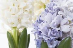 Σύνθεση λουλουδιών με τους ιώδεις και άσπρους υάκινθους η ανασκόπηση ανθίζει το διανυσματικό λευκό άνοιξη απεικόνισης 2 όλα τα αυ Στοκ Φωτογραφίες