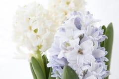 Σύνθεση λουλουδιών με τους ιώδεις και άσπρους υάκινθους η ανασκόπηση ανθίζει το διανυσματικό λευκό άνοιξη απεικόνισης 2 όλα τα αυ Στοκ φωτογραφία με δικαίωμα ελεύθερης χρήσης