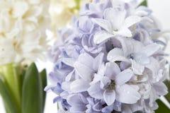 Σύνθεση λουλουδιών με τους ιώδεις και άσπρους υάκινθους η ανασκόπηση ανθίζει το διανυσματικό λευκό άνοιξη απεικόνισης 2 όλα τα αυ Στοκ εικόνα με δικαίωμα ελεύθερης χρήσης