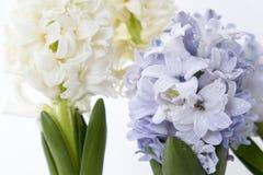 Σύνθεση λουλουδιών με τους ιώδεις και άσπρους υάκινθους η ανασκόπηση ανθίζει το διανυσματικό λευκό άνοιξη απεικόνισης 2 όλα τα αυ Στοκ Εικόνα