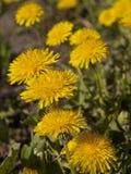 Σύνθεση λουλουδιών από τις κίτρινες πικραλίδες Στοκ Εικόνα