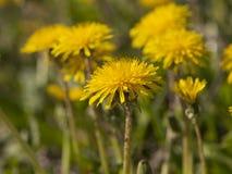 Σύνθεση λουλουδιών από τις κίτρινες πικραλίδες Στοκ Φωτογραφία