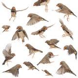 Σύνθεση του ζέβους Finch πετάγματος Στοκ Εικόνα