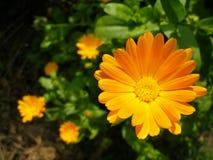 Σύνθεση marigolds Στοκ φωτογραφία με δικαίωμα ελεύθερης χρήσης