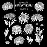 Σύνολο απομονωμένης άσπρης συλλογής 2 χρυσάνθεμων σκιαγραφιών Χαριτωμένη συρμένη χέρι διανυσματική απεικόνιση λουλουδιών στο άσπρ Στοκ φωτογραφία με δικαίωμα ελεύθερης χρήσης