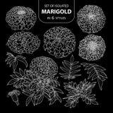 Σύνολο απομονωμένο marigold σε 6 μορφές Χαριτωμένη συρμένη χέρι άσπρη περίληψη απεικόνισης λουλουδιών διανυσματική μόνο Στοκ Εικόνες