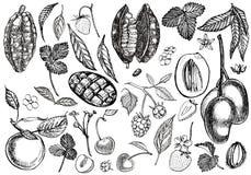 Σύνολο γραφικής βοτανικής απεικόνισης Φρούτα μάγκο, κακάο και φράουλα μούρων, σμέουρο, μήλο, κεράσι που απομονώνεται επάνω Στοκ φωτογραφίες με δικαίωμα ελεύθερης χρήσης