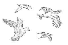 Σύνολο διανύσματος wildfowl απεικόνιση αποθεμάτων