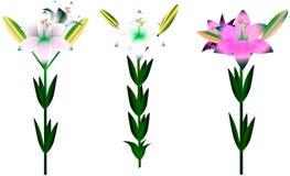 Σύνολο διαφορετικών κρίνων με τα φύλλα και τους οφθαλμούς Στοκ φωτογραφία με δικαίωμα ελεύθερης χρήσης