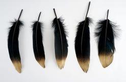 Σύνολο επιχρυσωμένου πολυτέλεια χρυσού χρυσού μαύρου φτερού κύκνων στο άσπρο υπόβαθρο Στοκ Φωτογραφίες