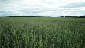 Σύνολο θερινών τομέων του unripe σίτου τοπίο αγροτικό φιλμ μικρού μήκους