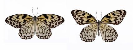 Σύνολο ιδέας δύο όμορφης πεταλούδων leuconoe Στοκ φωτογραφία με δικαίωμα ελεύθερης χρήσης