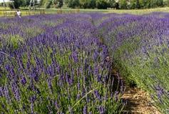 Σύνολο κήπων lavender σε Ostrà ³ W 40 χλμ από την Κρακοβία Η μυρωδιά και το χρώμα lavender επιτρέπουν στους επισκέπτες για να αισ στοκ εικόνες