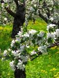 Σύνολο κλάδων δέντρων της Apple της άνθισης λουλουδιών Στοκ φωτογραφία με δικαίωμα ελεύθερης χρήσης