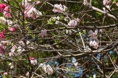 Σύνολο κλάδων ροδάκινων ανθίσματος των λουλουδιών Στοκ εικόνες με δικαίωμα ελεύθερης χρήσης