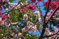 Σύνολο κλάδων ροδάκινων ανθίσματος των λουλουδιών Στοκ Φωτογραφία