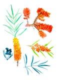 Σύνολο κλάδων της λευκαγκαθιάς, των μούρων και των κλαδίσκων με τα φύλλα Απεικόνιση Watercolor που απομονώνεται στο άσπρο υπόβαθρ στοκ εικόνες με δικαίωμα ελεύθερης χρήσης
