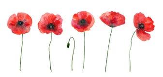 Σύνολο κόκκινων παπαρουνών ζωηρόχρωμα λουλούδια Συρμένη χέρι απεικόνιση Watercolor που απομονώνεται στο άσπρο υπόβαθρο ελεύθερη απεικόνιση δικαιώματος