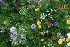Σύνολο λιβαδιών ποικίλων ζωηρόχρωμων άγριων λουλουδιών συμπεριλαμβανομένων των μπλε cornflowers, και νεραγκούλες μεταξύ της χλόης Στοκ Εικόνες