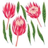 Σύνολο λουλουδιών protea Διανυσματική ψηφιακή σύγχρονη τέχνη Φωτεινός ρόδινος, κόκκινος, αυξήθηκε πράσινα χρώματα ANG Bloosoms κα Στοκ Φωτογραφίες