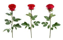 Σύνολο με τα κόκκινα τριαντάφυλλα Σαν στοιχεία σχεδίου Στοκ Εικόνα