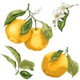Σύνολο με τα πορτοκαλιά μέρη εγκαταστάσεων οπωρωφόρων δέντρων εσπεριδοειδών Υπάρχουν φύλλα, διανυσματική απεικόνιση