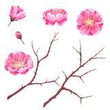 Σύνολο οφθαλμών sakura ή άνθους και κλάδων κερασιών Ιαπωνικά ανθίζοντας λουλούδια απεικόνιση αποθεμάτων