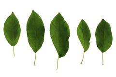 Σύνολο πέντε πράσινων φύλλων του δέντρου μηλιάς που απομονώνεται στο άσπρο υπόβαθρο στοκ φωτογραφίες με δικαίωμα ελεύθερης χρήσης