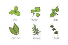 Σύνολο πράσινου διανύσματος χορταριών και κλάδων Φύλλο κόλπων, δεντρολίβανο, βοτανικά εικονίδια τέχνης γραμμών αρώματος μεντών απεικόνιση αποθεμάτων