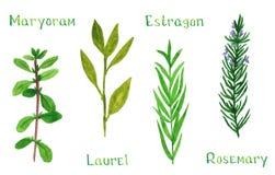 Σύνολο πράσινου herbsSet των πράσινων χορταριών, μαντζουράνα, δάφνη, estragon,  απεικόνιση αποθεμάτων