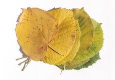 Σύνολο πράσινων και κίτρινων φύλλων φθινοπώρου που απομονώνονται στο λευκό Στοκ Εικόνες