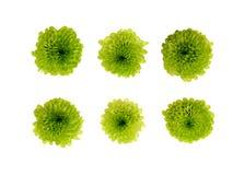 Σύνολο πράσινων λουλουδιών chrysantehmum Στοκ φωτογραφίες με δικαίωμα ελεύθερης χρήσης