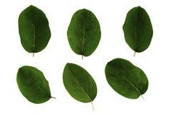 Σύνολο πράσινων φύλλων του κυδωνιού που απομονώνεται στο άσπρο υπόβαθρο στοκ εικόνες