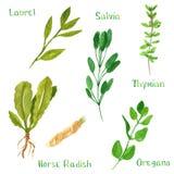 Σύνολο πράσινων χορταριών, δάφνη, χρένο, salvia, φασκομηλιά, θυμάρι, oregano ελεύθερη απεικόνιση δικαιώματος