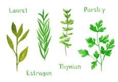 Σύνολο πράσινων χορταριών, δάφνη, estragon, θυμάρι, μαϊντανός, απεικόνιση wa ελεύθερη απεικόνιση δικαιώματος