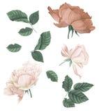 Σύνολο ρόδινων και κόκκινων τριαντάφυλλων και φύλλων, ζωγραφική watercolor διανυσματική απεικόνιση