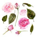 Σύνολο ρόδινων τριαντάφυλλων watercolor, οφθαλμοί, φύλλα απεικόνιση αποθεμάτων