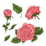Σύνολο τριαντάφυλλων κοραλλιών Χέρι που σύρει τη διανυσματική απεικόνιση ελεύθερη απεικόνιση δικαιώματος