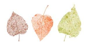 Σύνολο φύλλων σκελετών Πεσμένο φύλλωμα για τα σχέδια φθινοπώρου Το φυσικό φύλλο και σημύδα Χρωματισμένη διανυσματική απεικόνιση Στοκ εικόνα με δικαίωμα ελεύθερης χρήσης