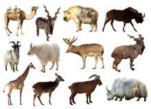 σύνολο artiodactyla ζώων Στοκ Εικόνες