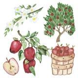 Σύνολο Watercolor ενός στοιχείο-κλάδου με τα κόκκινα μήλα, καλάθι με τα μήλα, δέντρο της Apple, ανθίζοντας κλάδος, η μισή Apple,  ελεύθερη απεικόνιση δικαιώματος