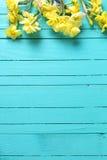 Σύνορα από τους κίτρινα ναρκίσσους ή daffodil τα λουλούδια στο aquamarine Στοκ Εικόνα